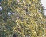 Thuja orientalis conspicua [Berkman's Gold]