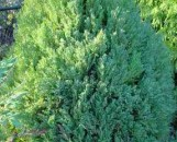 Thuja occidentalis meldensis
