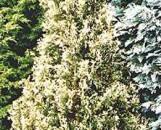 Thuja occidentalis Wansdyke Silver