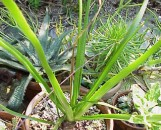 Aloe richardsii