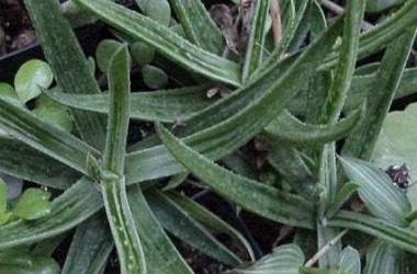 Aloeloba White Wings