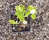 Aptenia Species White Flower