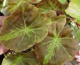 Begonia Needham [hyb]