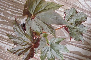 Begonia Reisa's Reward [hyb]