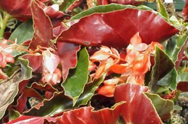 Begonia Torch [hyb]