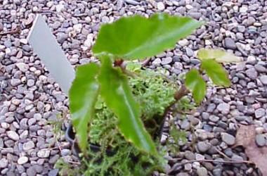 Begonia odetheiantha Venezuelan Form