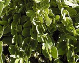 Carissa grandiflora Green Carpet