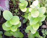 Carissa grandiflora Boxwood Beauty