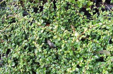 Carmona microphylla [Ehretia buxifolia]
