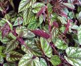 Tropical Vines Collection (5 Plants)