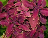 Coleus Big Red