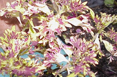 Coleus Butterfly
