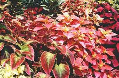 Coleus Craze Collection I
