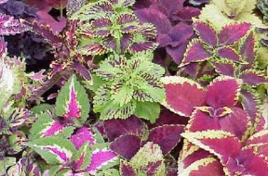 Coleus Craze Collection II (10 Plants)