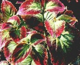 Coleus Japanese Giant