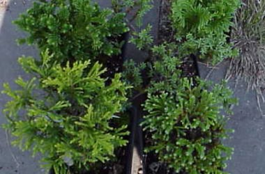 Bonsai Starter Collection - Temperate Zone Trees & Shrubs (5 Plants)