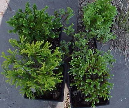 Bonsai starter collection temperate zone trees shrubs bonsai starter collection temperate zone trees shrubs altavistaventures Image collections