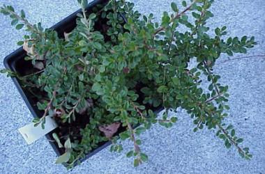Trough Miniatures Collection (5 Plants)