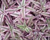 Cryptanthus bivittatus Pink Starlite