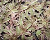 Cryptanthus bivittatus Le Rey