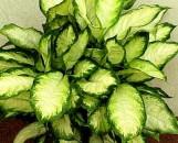 Dieffenbachia maculata rudolf roehrs