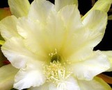 Epiphyllum Species Granada White