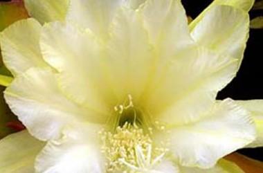 Epiphyllum Species Granada White