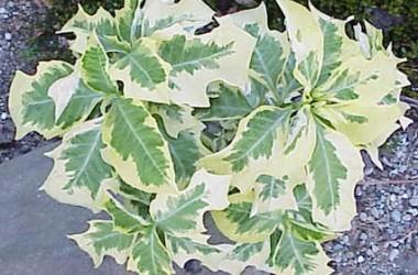 Tropical Gardens - Cheap Glitz (5 Plants)