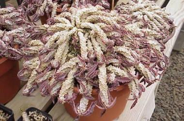 Euphorbia decaryii spirosticha