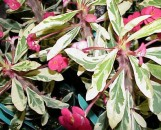 Euphorbia milii White Lightning