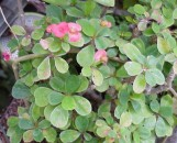 Euphorbia milii imperatae