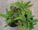 Euphorbia milii imperatae variegata