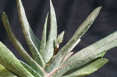 Gasteria nigricans marmorata variegata