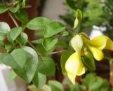 Gmelina philippensis [hystrix]