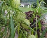 Asclepias [gomphocarpus] physocarpa