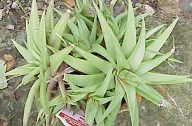 Haworthia ubomboensis