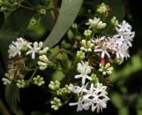 Heptacodium miconioides [jasminoides]