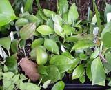 Hoya Collection (5 plants)