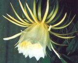 Hylocerus guatamalensis