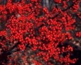 Ilex serrata x verticilata Sparkleberry