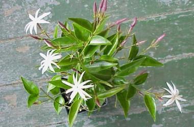 Jasminum nitidum magnificum