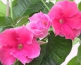Mandevilla Pink Velvet