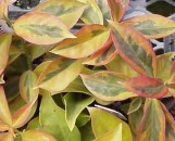 Pereskia aculeata godseffiana variegata
