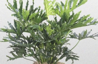 Philodendron Hope [hyb]