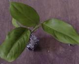 Philodendron inconcinnum