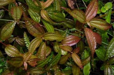 Pilea grandifolia Coral