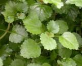 Plectranthus verticillatus (australis)