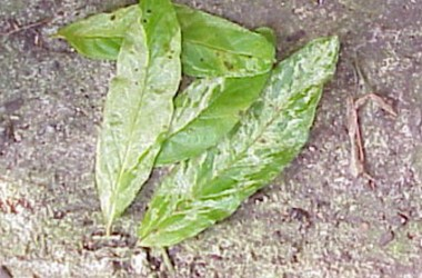 Punica granatum variegata