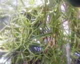 Rhipsalis quellebambensis