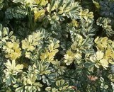 Ruta graveolens Harlequin [variegata]